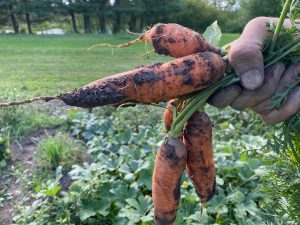 Freshly harvested locally grown organic carrots